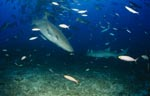 Tawny nurse sharks on patrol