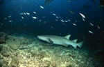 Tawny nurse shark very close on the seabed
