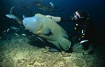 Hump-head wrasse and diver