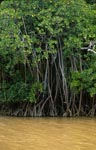 Mangrove thicket on the river after heavy rain