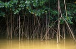 Red mangrove after heavy rain