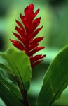 Red Ginger (Alpinia purpurata)