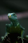 The Fiji crested iguana is one of the rarest animals on Earth