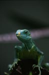 Close-up of Fiji Crested Iguana