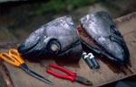 Two fish heads before installation of the transmitter