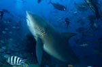 Bull Shark heavyweight