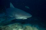Bull shark roams the reef
