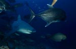 Bull Shark with Giant Trevally and surgeon fish