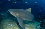 Bull shark changes direction