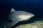 Bull shark on reef exploration