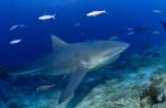 Bull shark comes from blue depth