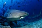 Bull Shark changes the direction