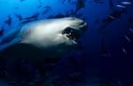 Grim looking bull shark
