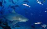 Bull shark swims in the open water