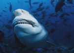 Bull Shark shows its teeth