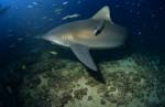 Bull shark patrols on the reef