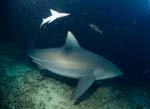 Bull Shark on the reef