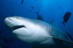 Interested Bull shark