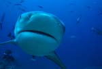 Bull Shark picture close up