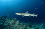 Whitetip reef shark at Shark Reef edge