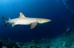 Whitetip Reef Shark in deep blue water