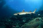 Whitetip reef shark patrols on the reef
