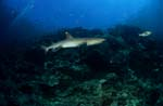 Whitetip reef shark swimming over reef