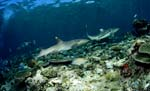 Whitetip reef shark and Blacktip reefshark