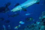Whitetip reef shark and Giant trevallys