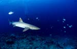 Whitetip reef shark patrolling