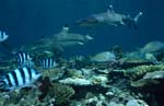 Whitetip reef shark and blacktip reef sharks