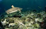 Blacktip reef shark swimming over reef
