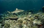 Blacktip reef shark on the reef