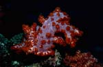 Soft-coral(Dendronephthya sp)</