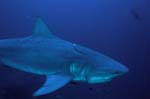 Bull shark with incised longline injury