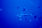 Sharksucker (Remora remora)