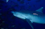 Tiger shark - Tiger shark photos
