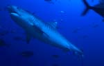 Tiger shark -picture