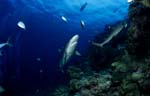 Gray reef shark and Whitetip reef shark
