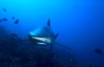 Whitetip reef shark frontal