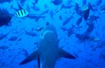 Bull shark swims vertically up