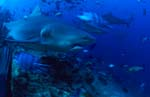 Bull shark is moving away from the reef