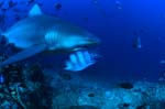Bull shark on exploration in the reef