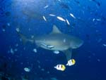 Bull shark in fish concentration