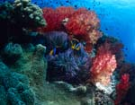 Soft coral (Dendronephthya sp)