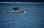 Striking Beluga whale fluke protrudes from the water