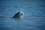 Beluga whale looks out of the water
