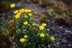 Arctic Cinquefoil on Cape Ann