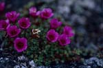 Colourful Saxifrage pillow - Purple saxifrage