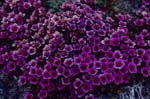 Purple Mountain Saxifrage or.Purple Saxifrage
